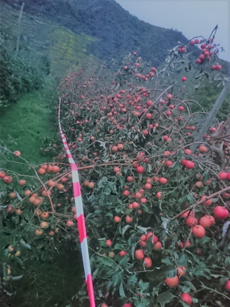 Eine Reihe voll Apfelbäumen an den Streuobstwiesen